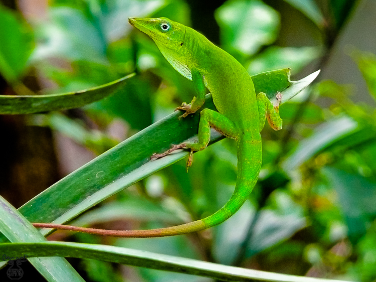 2056 - Hispaniolan green anole - -