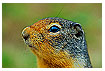 237 - Columbian Ground Squirrel - -