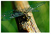 248 - Dragonfly on branch - Libelle auf Ast