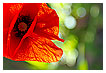 3291 - Truncated Poppy - Mohneck
