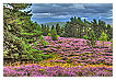 3703 - Scottish Heather - -
