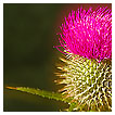 3716 - The Thistle o' Scotland - -