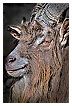 3797 - Billy goat Beast Art - Voll Bock