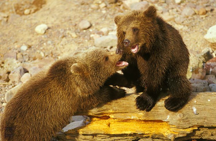513 - Bear cubs playing - -