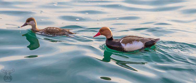 8254 - Lake Garda Pochards - -