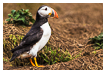 8368 - The First Puffin - Der Erste Papageitaucher