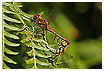 836 - Dragonflies in Love - -