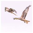 8785 - Redkite Synchronous Flight - -