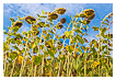 9848 - Sunflower Sky - -