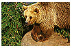 510 - Brown bear - -