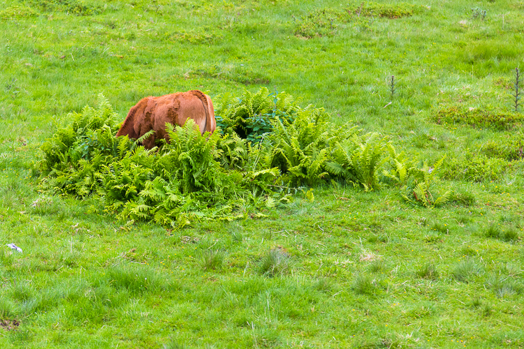 6982 - Hide and seek - cow version - -