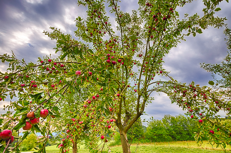 7776 - Traditional Orchard - -